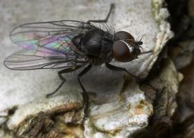 Diptera 8809