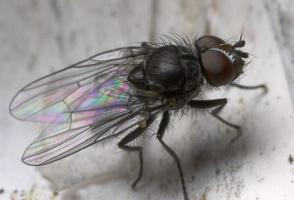 Diptera 8810