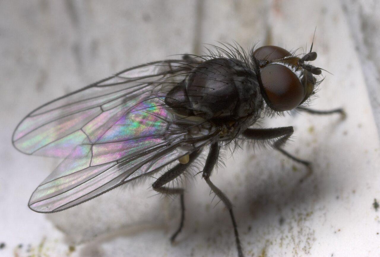 Diptera-8810.jpg
