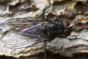 Diptera 8811