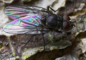 Diptera 8812