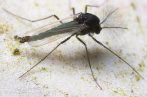 Diptera 8819