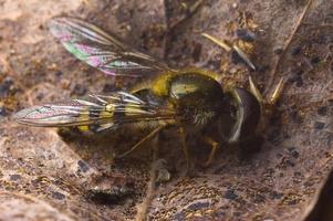 Syrphidae · žiedmusė
