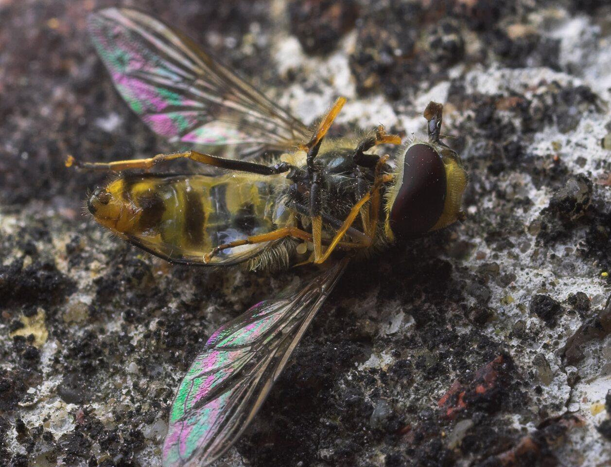 Syrphidae-8830.jpg