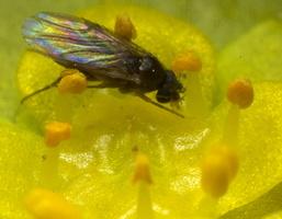 Diptera 8837