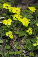 Chrysosplenium alternifolium · pražangialapė blužnutė