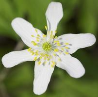 Anemone nemorosa · baltažiedė plukė