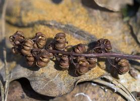 Pyrola media fruits, seeds · vidutinioji kriaušlapė, sausi vaisiai, byra sėklos