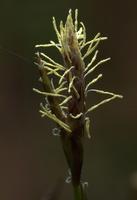 Cyperaceae · viksvuoliniai