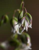 Hierochloe odorata ? · kvapioji stumbražolė