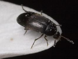 Anaspis frontalis · kupravabalis