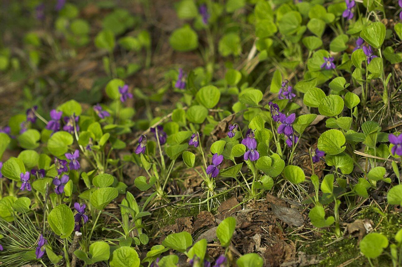 Viola-odorata-8938.jpg