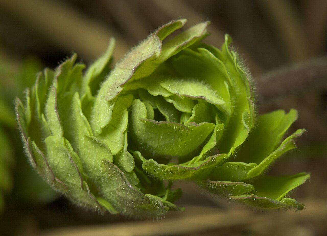 Aquilegia-vulgaris-8943.jpg