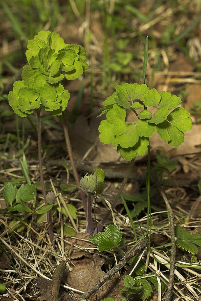 Aquilegia-vulgaris-8947.jpg