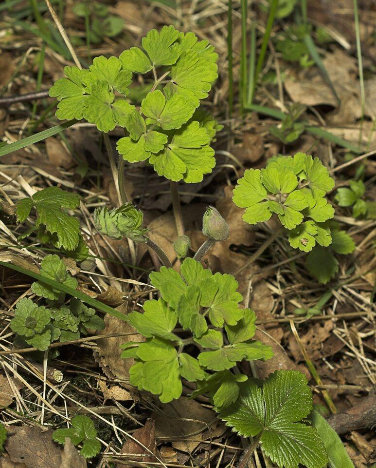 Aquilegia-vulgaris-8948.jpg