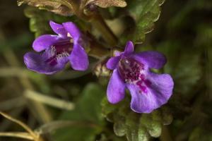 Glechoma hederacea · šliaužiančioji tramažolė