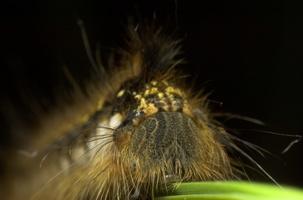 Euthrix potatoria caterpillar · pievinis verpikas, vikšras