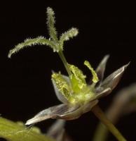 Luzula pilosa · plaukuotasis kiškiagrikis