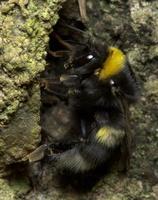 Bombus lucorum, queen · šilinė kamanė