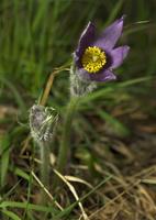 Pulsatilla vulgaris · paprastoji šilagėlė
