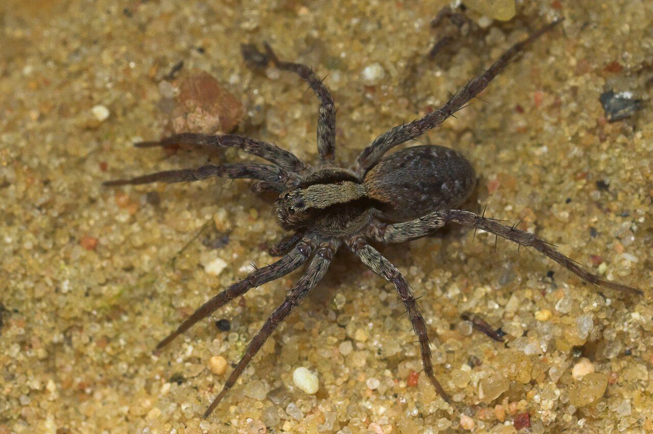 Lycosidae-9147.jpg