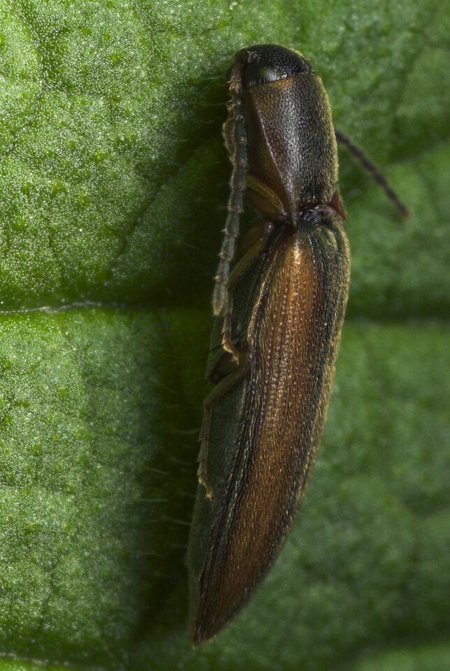 Dalopius-marginatus-9157.jpg