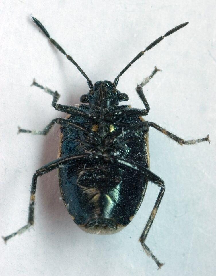 Eurydema-oleracea-9164.jpg