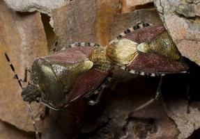 Dolycoris baccarum copula · uoginė skydblakė poruojasi