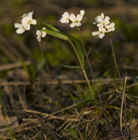 Arabidopsis arenosa · smiltyninis skamainis