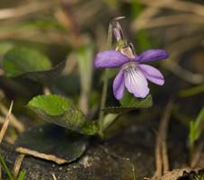 Viola odorata · kvapioji našlaitė