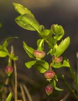 Vaccinium myrtillus flower · mėlynė žydi