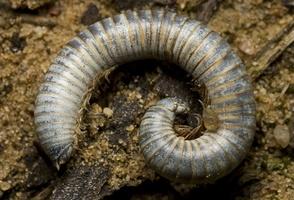 Diplopoda · dviporiakojis