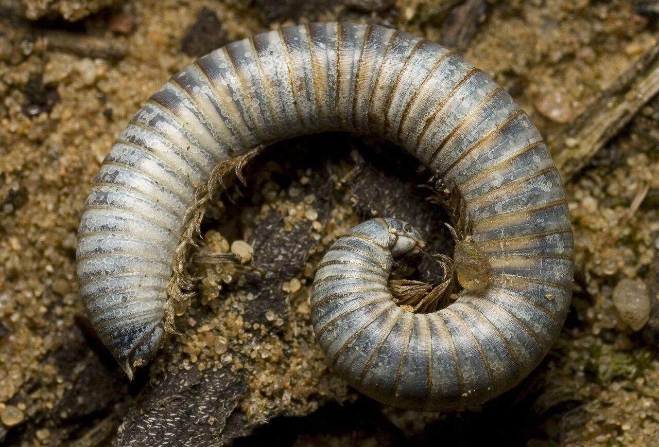 Diplopoda-9322.jpg