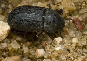 Melanimon tibiale · šlaitinis juodvabalis