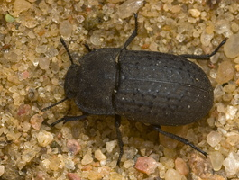 Opatrum sabulosum · smiltyninis juodvabalis