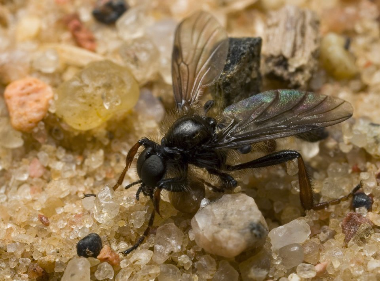 Bibionidae-9356.jpg