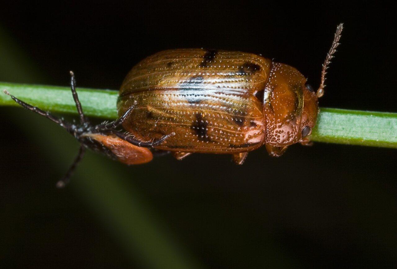 Gonioctena-quinquepunctata-9362.jpg