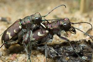 Cicindela hybrida · baltalūpis šoklys