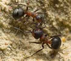 Formica rufa · rudoji miško skruzdėlė