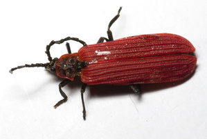 Dictyoptera aurora · aušrinis žiedvabalis