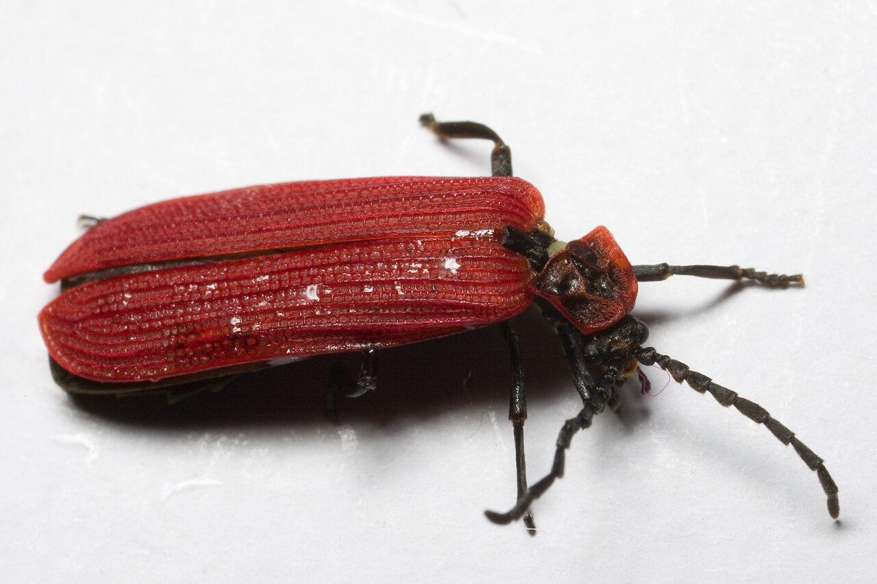 Dictyoptera-aurora-9541.jpg