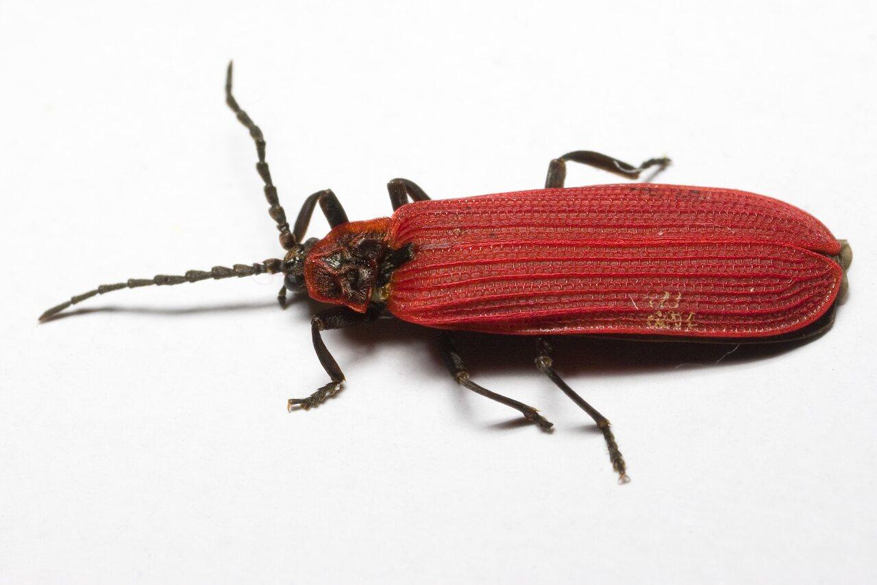 Dictyoptera-aurora-9546.jpg