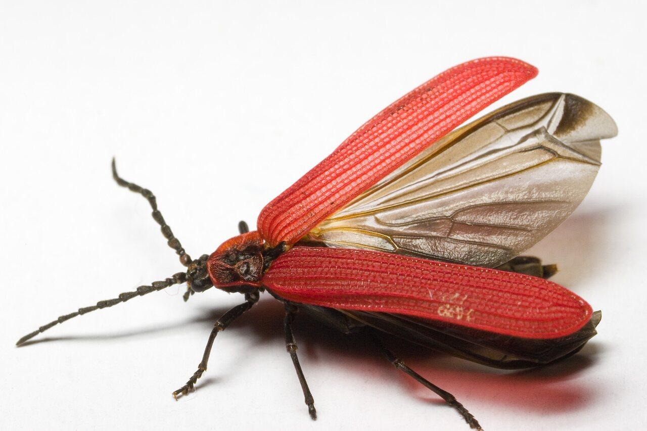Dictyoptera-aurora-9547.jpg
