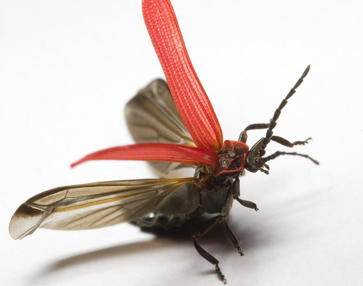 Dictyoptera-aurora-9548.jpg