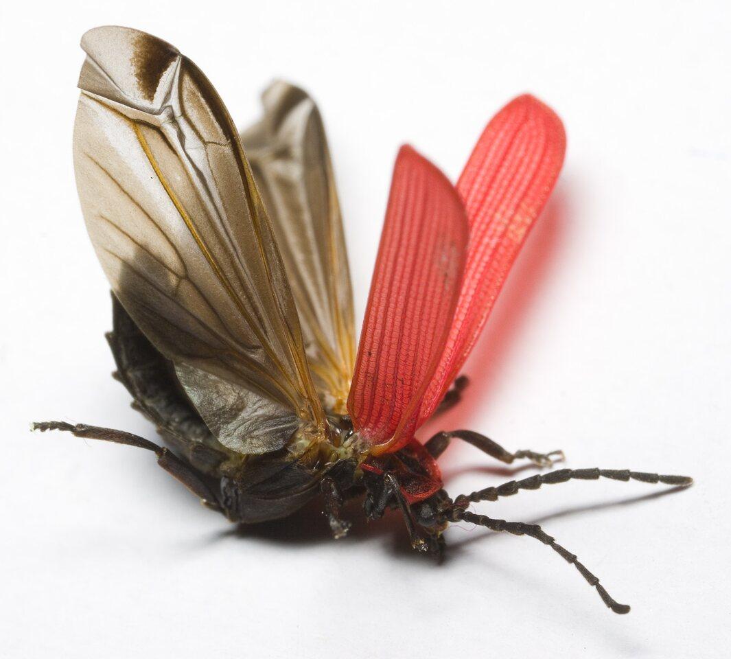 Dictyoptera-aurora-9549.jpg
