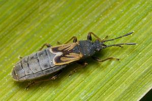 Ischnodemus sabuleti · įvairiasparnė dirvablakė