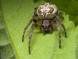 Larinioides cornutus, female · nendrinis žnypliavoris ♀