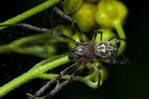 Larinioides cornutus male · nendrinis žnypliavoris ♂
