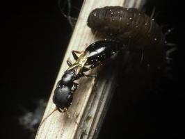 Bethylidae 9931