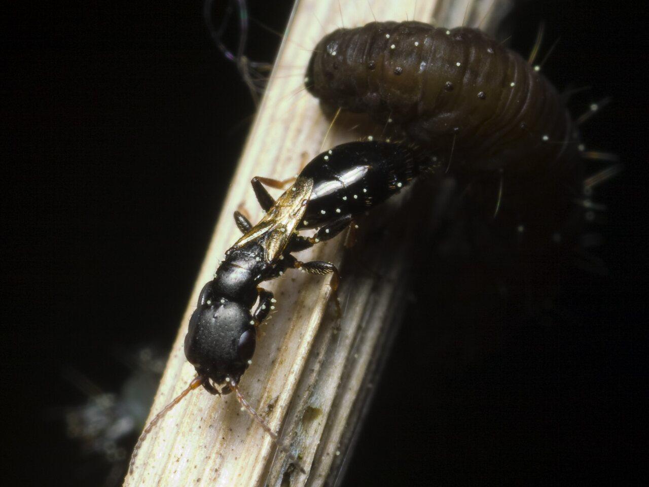 Bethylidae-9931.jpg